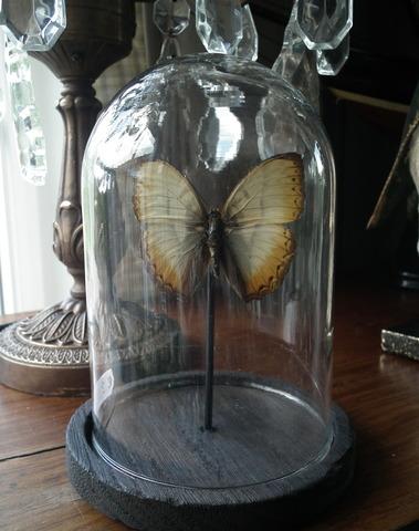 Glazen stolp met vlinder beige